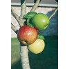  3.25-Gallon 3-N-1 Apple (L7316)