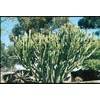  10.25-Gallon Cactus Euphorbia (L10064)