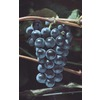 1.5-Gallon Grape (L6358)