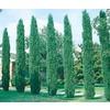 3.43-Gallon Italian Cypress (L3291)