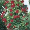 3.43-Gallon Climbing Rose (L10152)