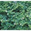 3.43-Gallon White Boxwood Beauty Natal Plum Foundation/Hedge Shrub (L7491)