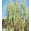 3.43-Gallon Shoestring Acacia (L9438)