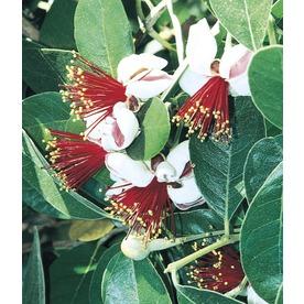 2.92-Quart Pineapple Guava Small Fruit (L7511)