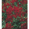  2.92-Quart Red Lady Bank's Rose (LW03784)