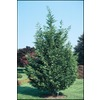  2.92-Quart Leyland Cypress (L3153)