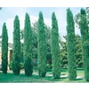  2.92-Quart Italian Cypress (L3291)