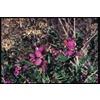 2.92-Quart Purple Sweet Pea Bush Flowering Shrub (L7149)