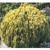 2.92-Quart Golden Globe Arborvitae Accent Shrub (L3952)