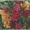 2.92-Quart Mixed Hybrid Bougainvillea Flowering Shrub (L5710)