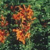 2.92-Quart Cape Honeysuckle (L3069)