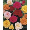 3.43-Gallon Bud and Bloom Rose (L10150)