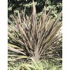 3.43-Gallon New Zealand Flax (L11837)