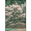 2.92-Quart Tea Tree (L14380)
