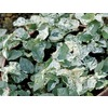 3.43-Gallon Variegated Creeping Fig (L14194)