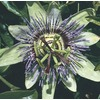 3.43-Gallon Blue Passion Flower (LW00669)