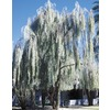 3.43-Gallon Weeping Acacia (L14867)