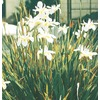 3.43-Gallon Fortnight Lily (L9397)