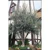 3.43-Gallon European Olive (L14921)