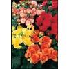 1.75-Gallon Rieger Begonia (L9387)