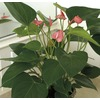 13 oz Anthurium (L20914HP)