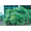 1.5-Gallon Lady Palm (L10147)