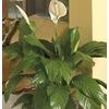1.75-Gallon Peace Lily (L20977hp)
