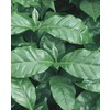3.25-Gallon Coffee Plant (LW00479HP)