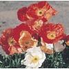 2.5-Quart Iceland Poppy Mix (L3958)