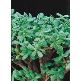 2.3-Quart Jade Plant (LW03223)