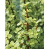  3.5-Gallon Elephant Bush (LB21418)