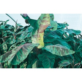 3.25-Gallon Red Banana (L6354)