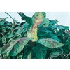 3.25-Gallon Red Banana Small Fruit (L6354)