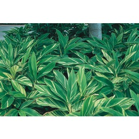 3.5-Gallon Variegated Ginger Lily (L7681)