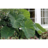 3.5-Gallon Elephant Ear (L8541)