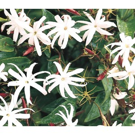 2.58-Gallon Star Jasmine (L8609)