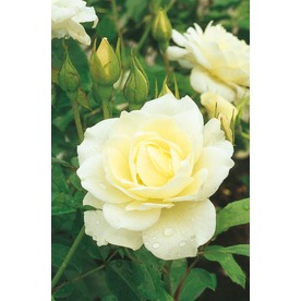 2.58-Gallon Iceberg Rose (L3699)