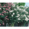 1-Quart Mixed Dwarf Crape Myrtle (L7613)