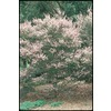 1-Quart Tea Tree (L14380)