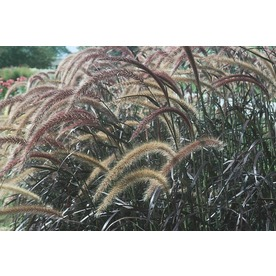 1-Quart Purple Fountain Grass (LW00405)
