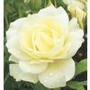 1-Gallon Iceberg Rose (L3699)