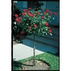 3.5-Gallon Assorted Tree Roses (LW01114)