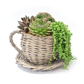 1.4-Quart Mixed Cacti (AL001)