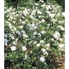 1-Quart White Gardenia Flowering Shrub (L5150)
