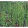 3.5-Gallon Horsetail Reed (L7517)