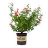 2.25-Gallon Mixed Rose Colors Flowering Shrub