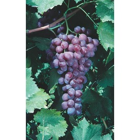  Catawba Grape (L3248)