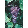 1-Pack Catawba Grape Small Fruit (L3248)