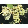 1-Pack Niagara Grape Small Fruit (L1200)