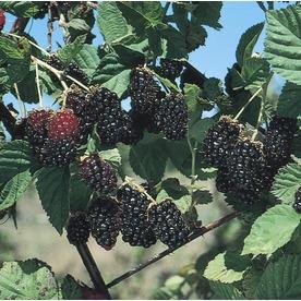 WR Vanderschoot 2-Count Navaho Thornless Blackberry (L4596)